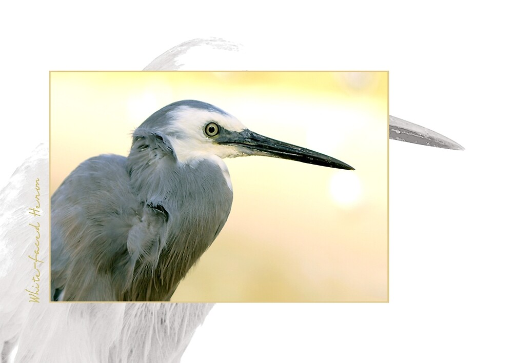 White Faced Heron by Holly Kempe