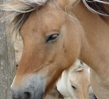 Horse 2 (Equus ferus caballus) by DutchLumix