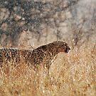 Cheetah in Serengeti rain by Brad Francis