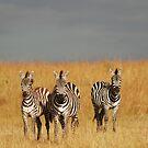 Zebras in the Masai Mara by Brad Francis