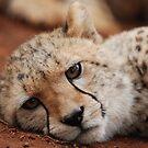 Cheetahs by Brad Francis