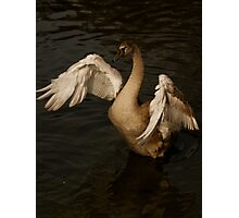 teenage swan Photographic Print