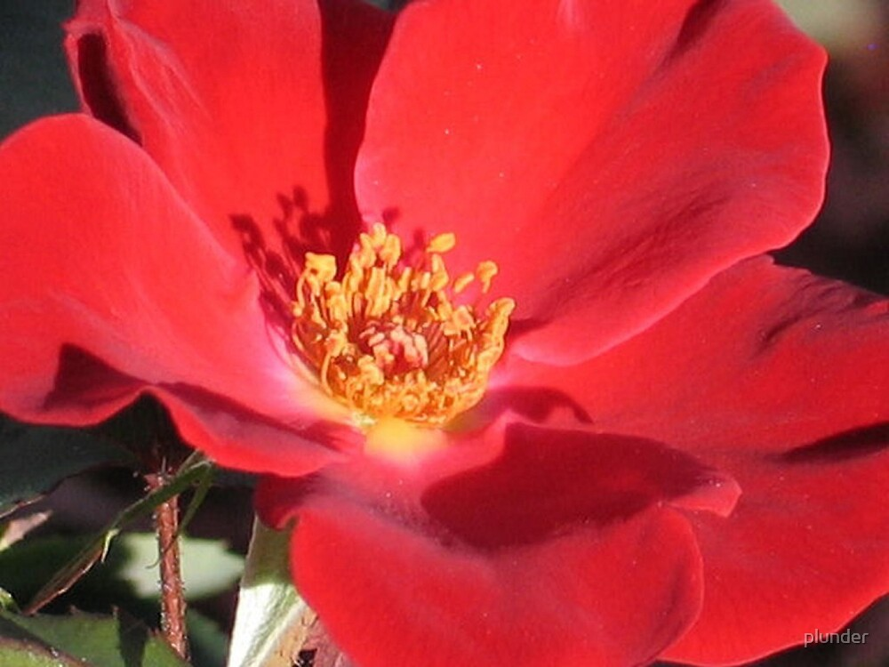 Wild Red Rose by plunder