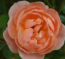 Peach Rose at Dusk by Themis