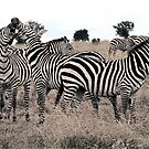 Zebra by Michael  Moss