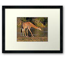 Giraffe Drinking Framed Print