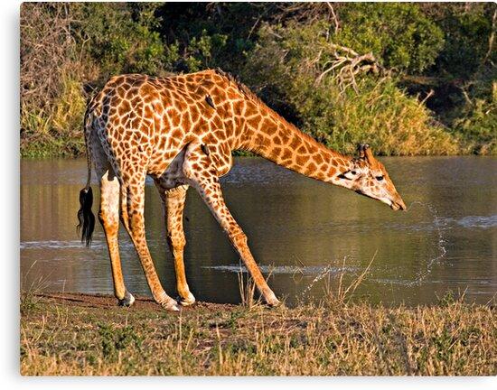 Giraffe Drinking by Michael  Moss