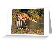 Giraffe Drinking Greeting Card