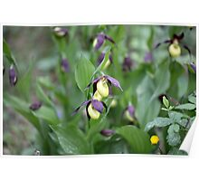 Ladys slipper Orchid Poster