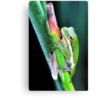 American Green Tree Frog #6 (Calendar) Canvas Print