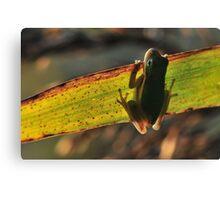 American Green Tree Frog #7 (Calendar) Canvas Print