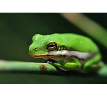 American Green Tree Frog #9 (Calendar) Photographic Print