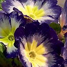 Blue Polyanthus by picketty