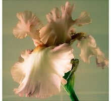 Iris by Barbara Wyeth