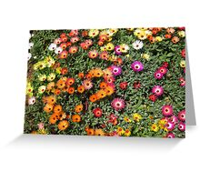 Part of the garden bed of Livingstone Daisies. Greeting Card