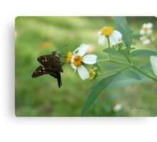 Long Tailed Skipper on Spanish Needle Metal Print