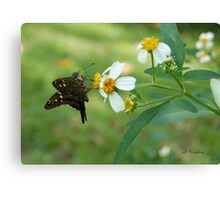 Long Tailed Skipper on Spanish Needle Canvas Print