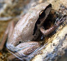 Litoria jungguy - Stony-creek frog by Forto