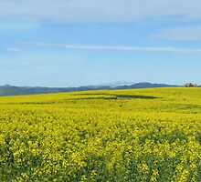 Canola Panorama by SharonD