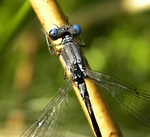 Common Spreadwing by Ron Kube