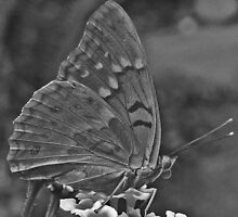 BW skipper butterfy by ClintDMc