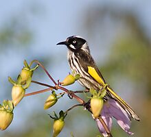 New Holland Honey Eater by Stephen Dean