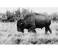 Lone Buffalo  Photographic Print
