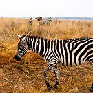 Zebra, all stripes  by steppeland