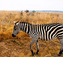 Zebra, all stripes  by steppeland