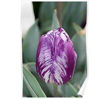 What Beautiful Markings - Purple Tulip Poster