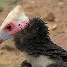 White-headed Vulture  by Gili Orr