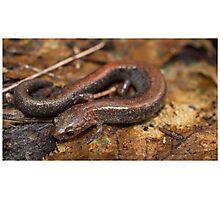 Red Backed Salamander Photographic Print