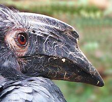 Black hornbill (Anthracoceros Malayanus) by Gili Orr