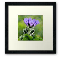 Wild Blue Geraniums Framed Print