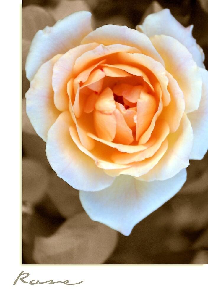 """""""Smooth Angel"""" Rose by Holly Kempe"""