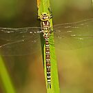 Adult Female Southern Hawker by Robert Abraham