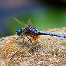 *BLUE DRAGONFLY*  by Van Coleman