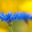 Cornflower Glow by Sarah-fiona Helme