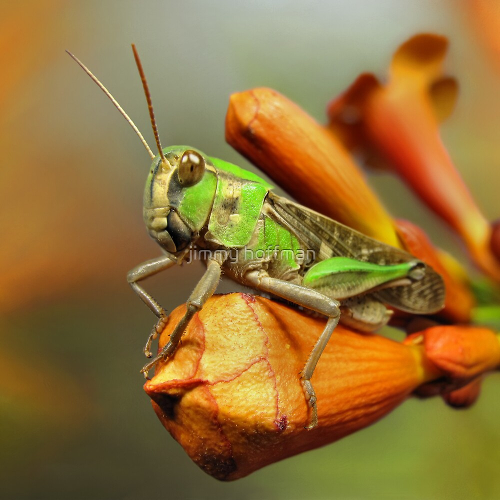 Grasshopper on flower-bud by jimmy hoffman