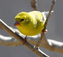 American Goldfinch Female by PeggCampbell