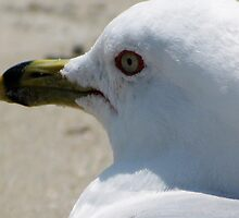 Gull 2 by Dan Perez