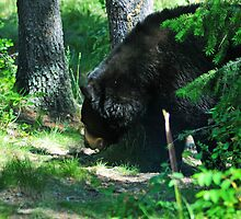 Black Bear, Looking for Grub by Donna Ridgway