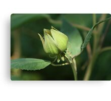 Mallow Bud Taking a Bow Canvas Print