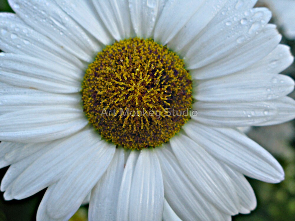White Daisy by Dan Perez