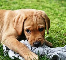 Yellow Lab Puppy by MikeJagendorf