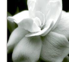 Gardenia by Holly Kempe