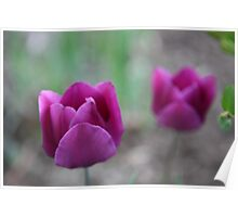 An Echo of Purple Tulips Poster