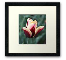 Ombre Tulip Framed Print
