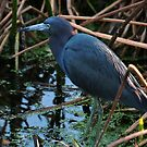 Little Blue Heron by TRussotto