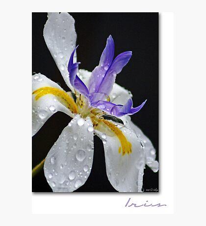 African Iris Photographic Print